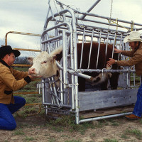 Recommended Livestock Safety & Handling Tips