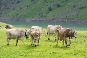 cows-383191_1280