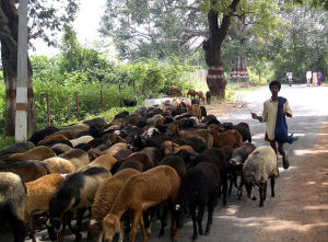640px-Sheep_and_herder_India