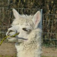 Tips for Starting an Alpaca Farm