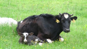 cattle-853184_1280