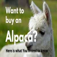 All you need to know before you buy an Alpaca