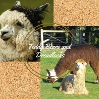 Teddy Bears and Dreadlocks. The Two Types of Alpacas