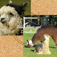 Teddy Bears and Dreadlocks. The Two Types of Alpacas