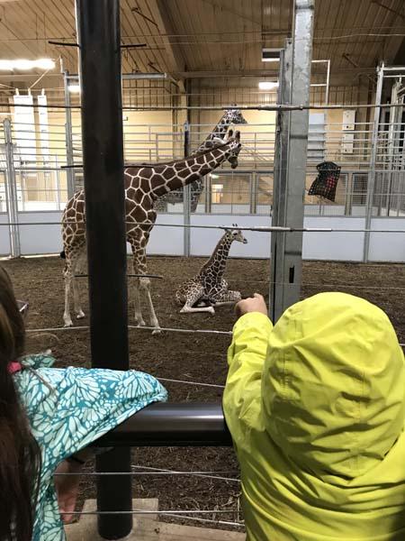 Giraffes up close!