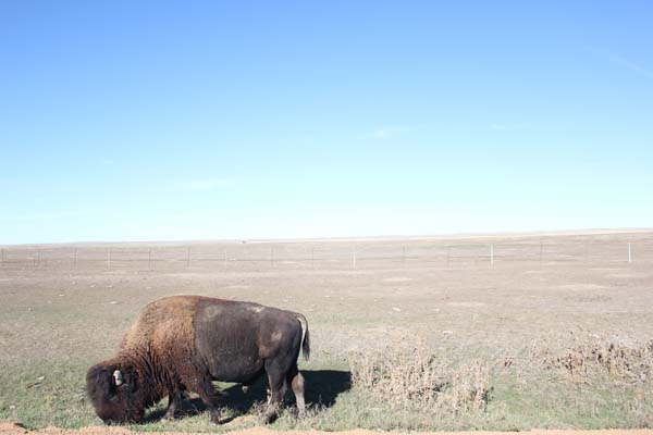 We must have seen over 20 bison.