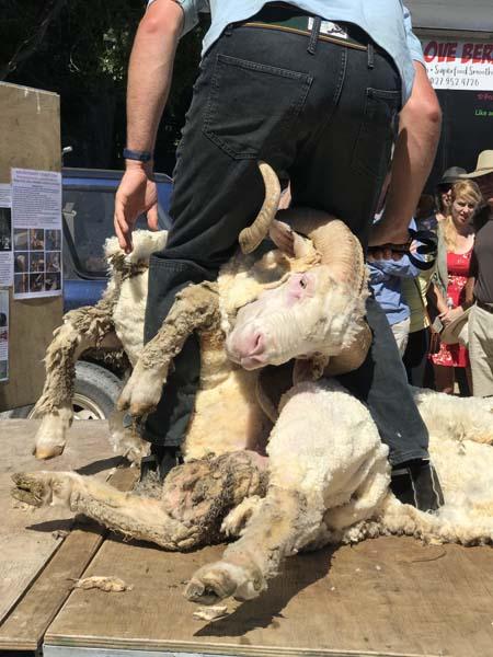 Sheep shearing!