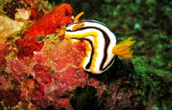 Lalaguna Villas - Nudibranch - Chromodoris magnifica