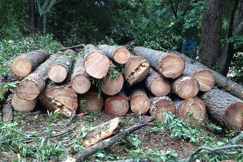 Raw Material - Pine Logs