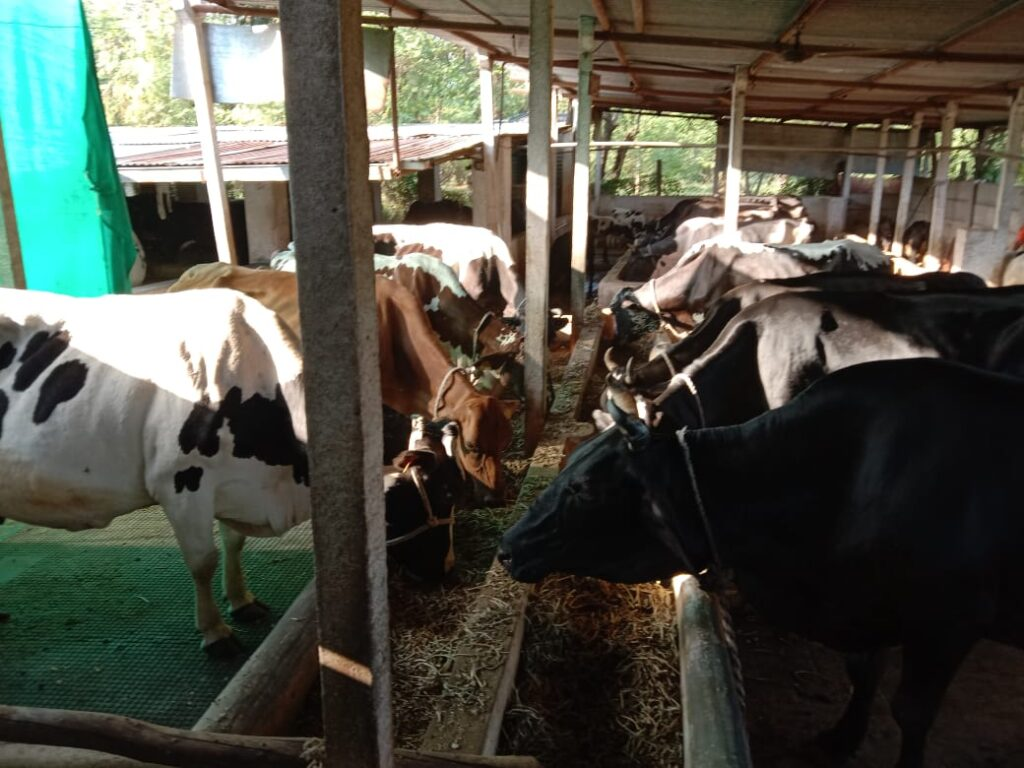 Cow dairy 3