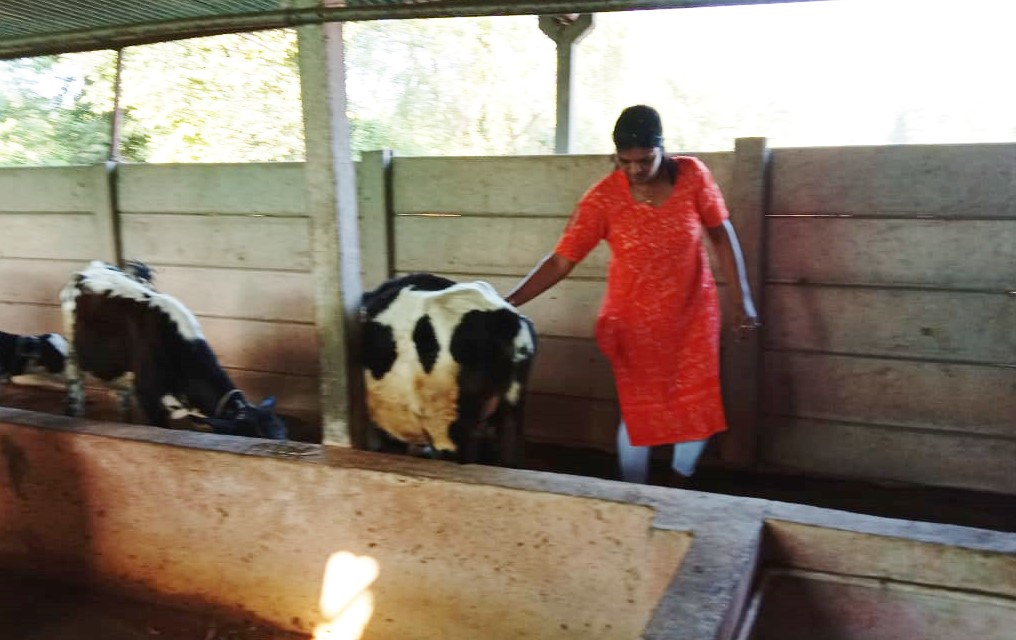 Cow dairy 4