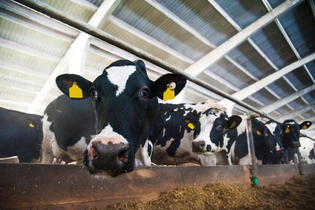 Steve Kluemper Curious Cows