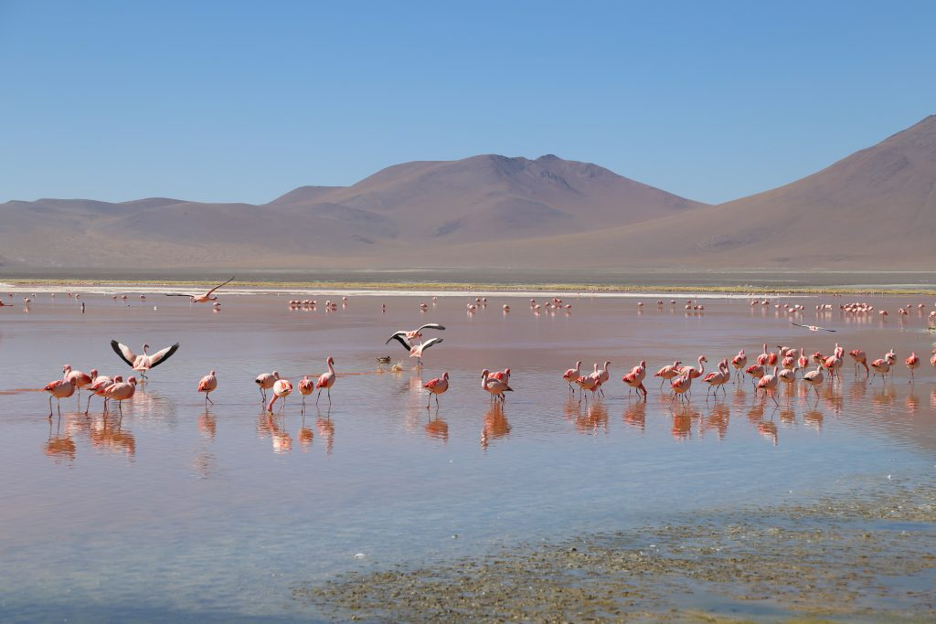 Flamingos da Laguna Colorada
