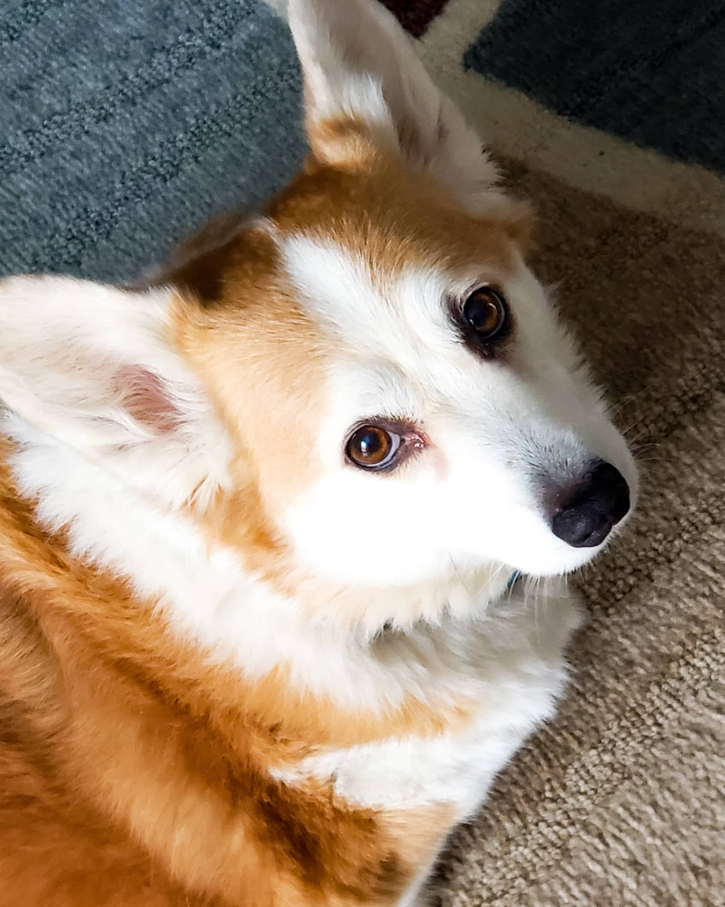 roxy the corgi posing for pet screens