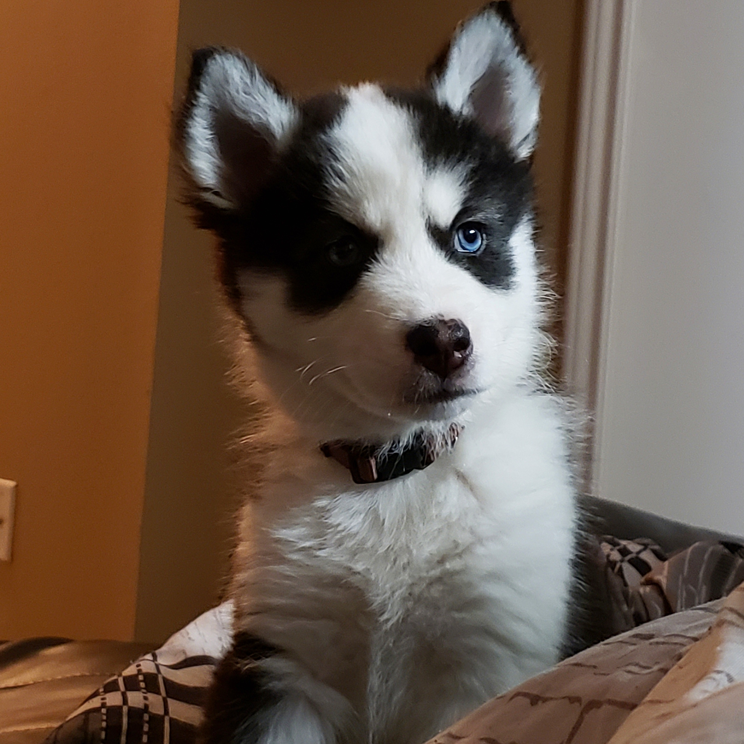 Nipsey the husky posing for pet screens