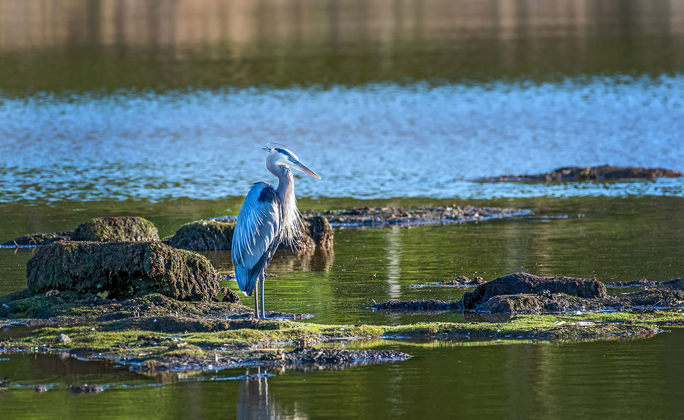 Heron standing in water.