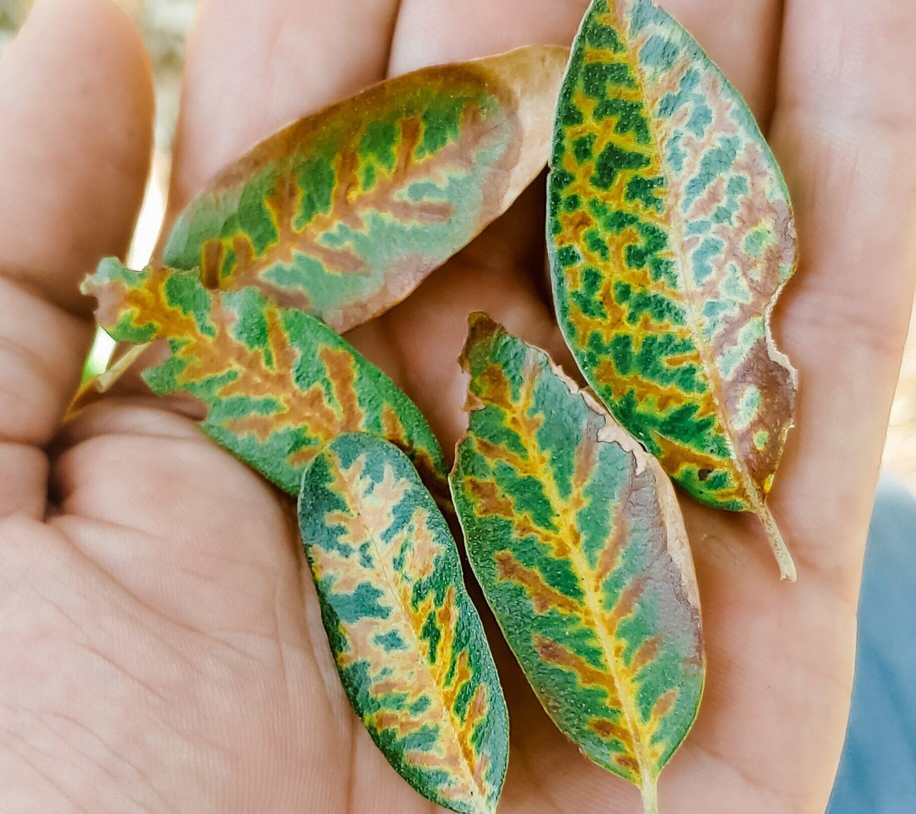 Foliar Symptom of Oak Wilt