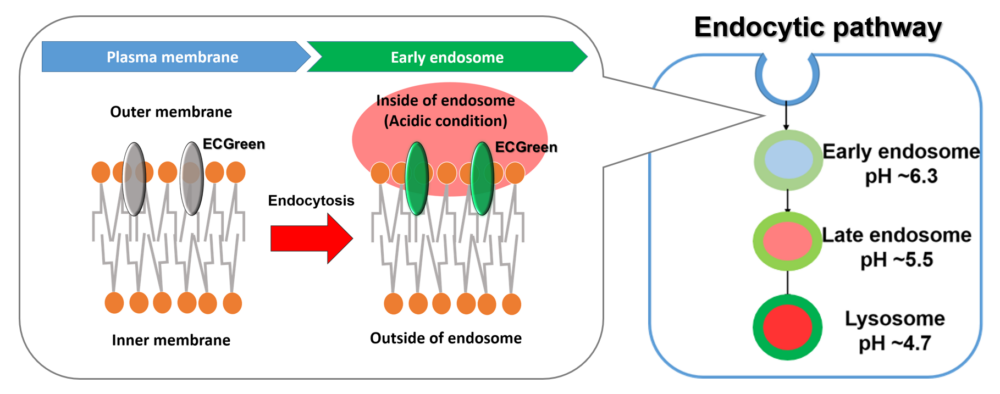 Using the ECGreen allows visualization endocytosis from the stage of early endosomes