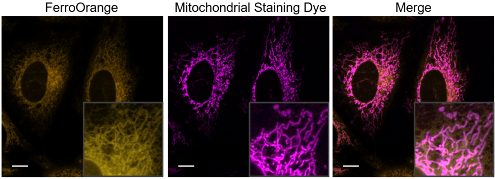 Co-staining with Mitochondrial staining Dye