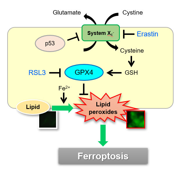 Lipid Peroxides in the process of Ferroptosis