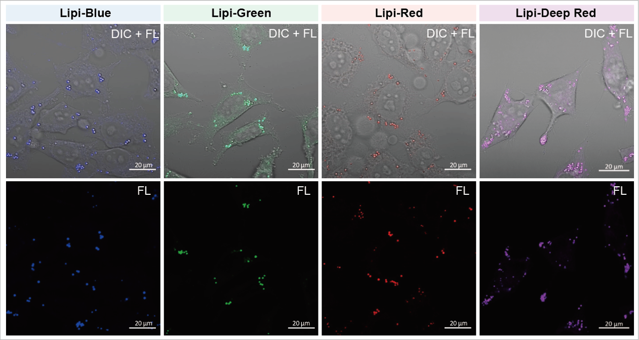 Oleic acid treated HeLa cells with Lipi Product Series