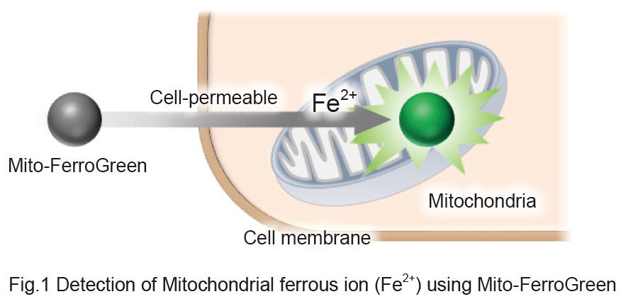 Detection of Mitochondrial Ferrous Ion using Mito-FerroGreen