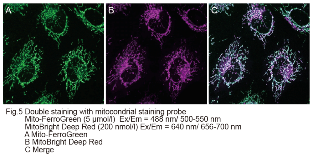 Double staining with mitochondrial staining probe