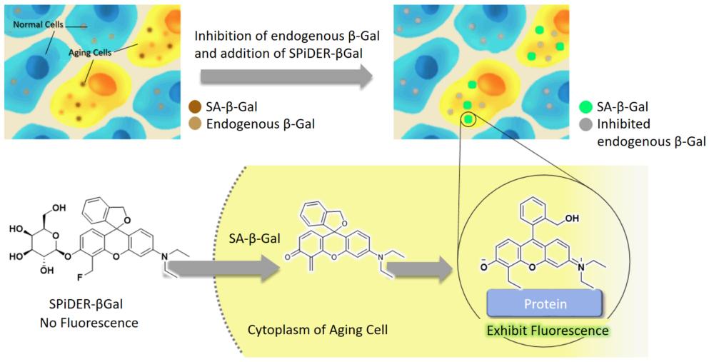 Fluorescence of SA-βGal using Dojindo's Cellular Senescence Detection Kit