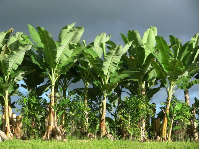 Banana tree uses