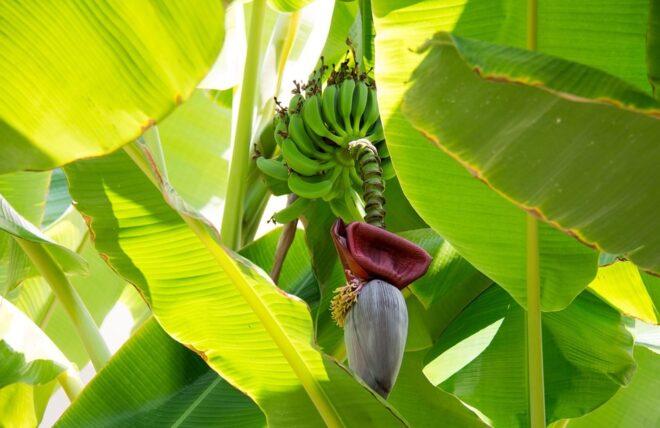 banana leaf health benefits