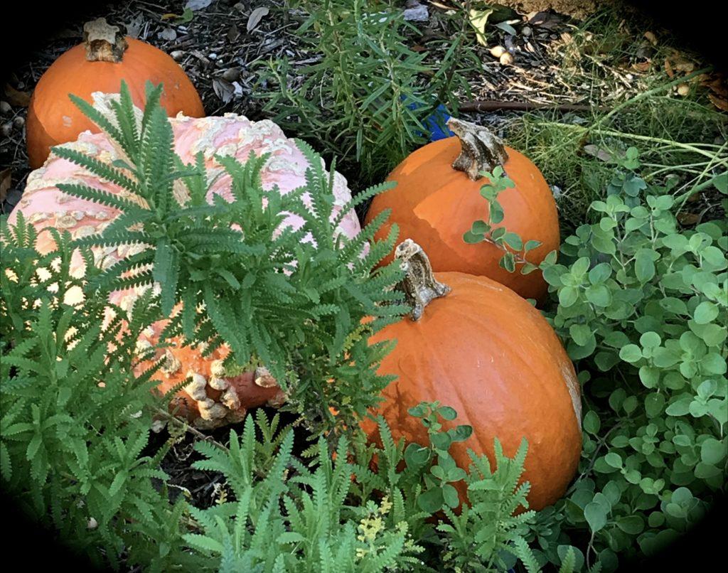 pumpkin:herb close up