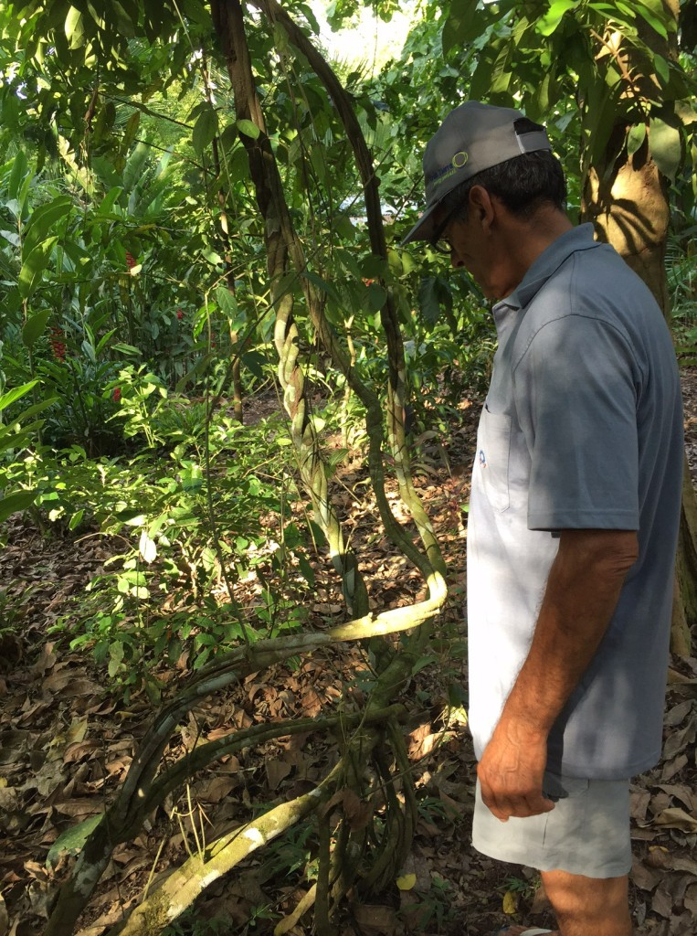 Victor with the Ayahuasca tree