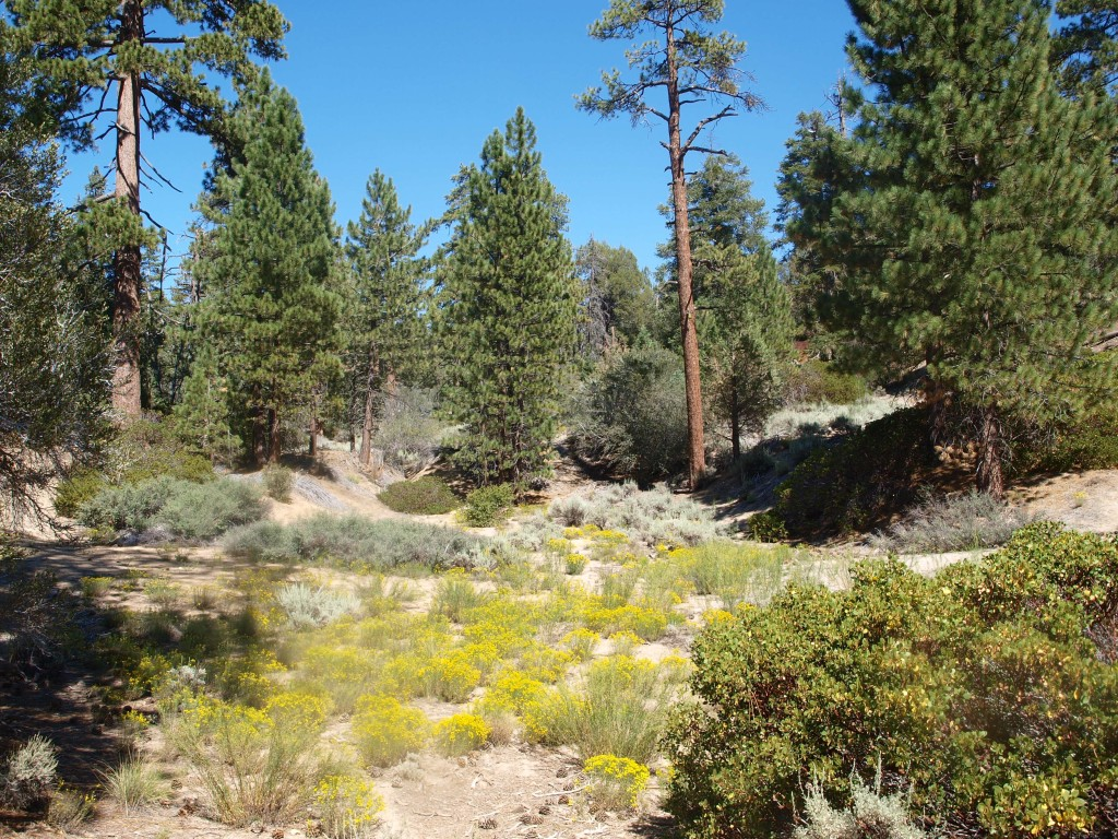 Scenic view of pines and junipers on Cougar Crest Trail, Big Bear Lake, California