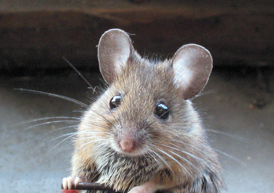 mouse in house - rodent control page