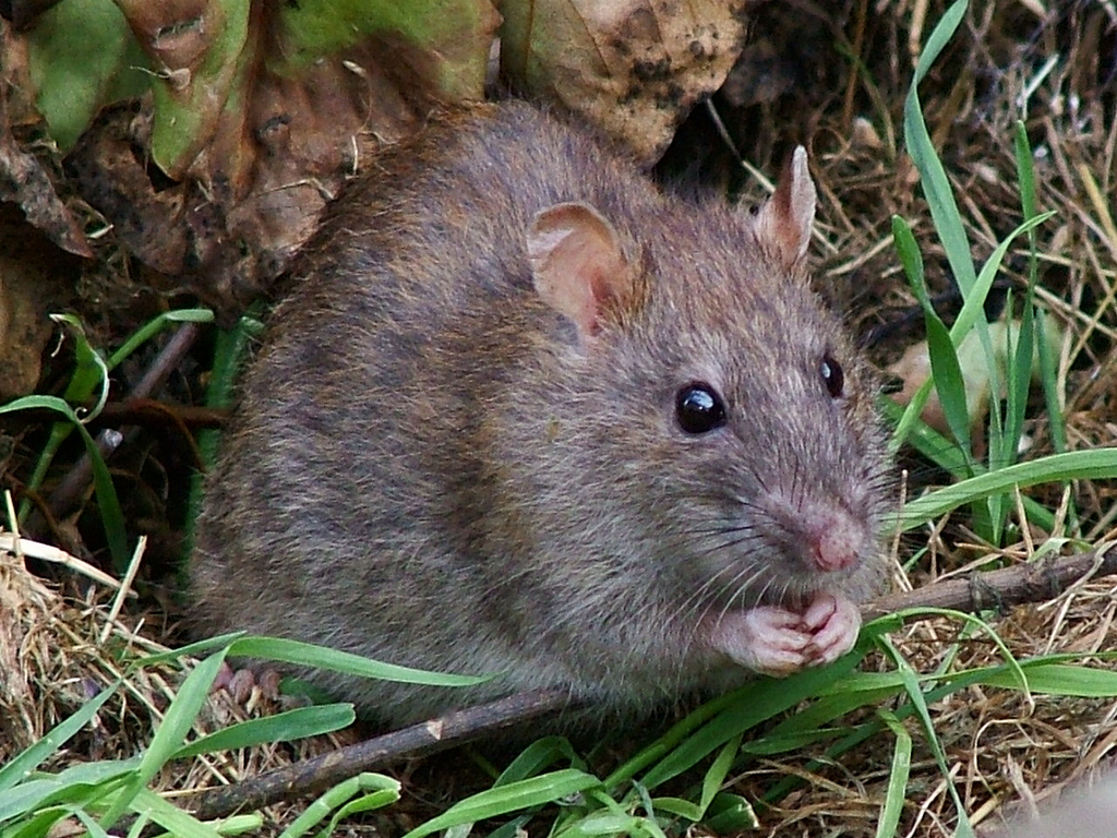mouse in yard - rodent control page