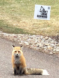 """Red fox with a """"Don't Mine Glenwood"""" yard sign"""