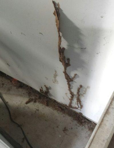 Subterranean Termites mud tubes