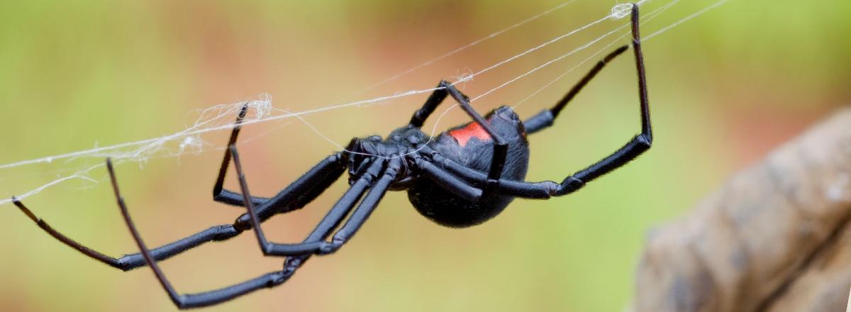 Black widow spider in Sacramento