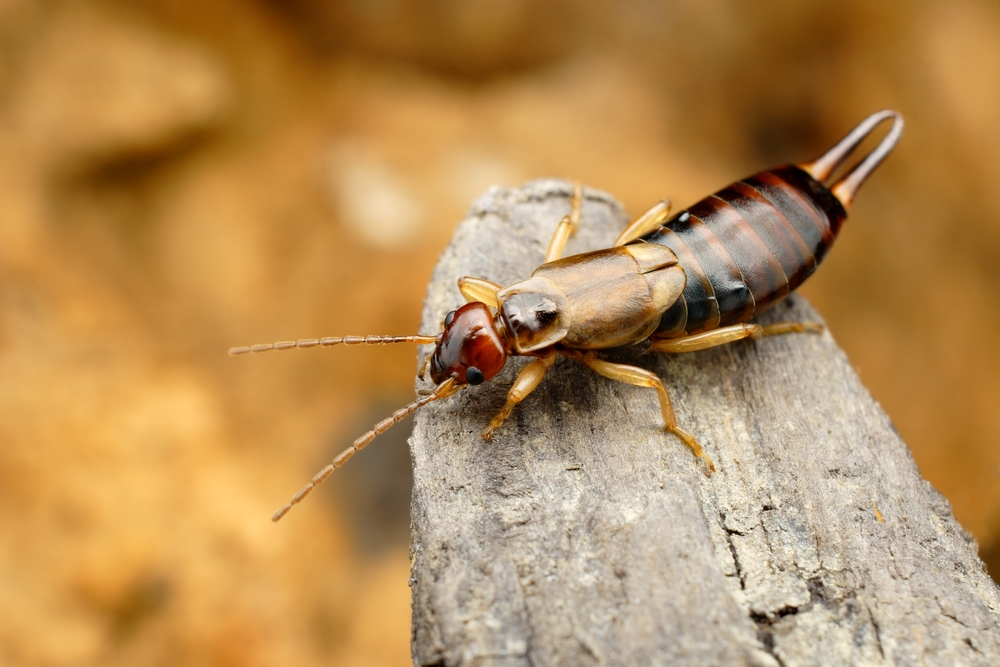 Earwig on wood