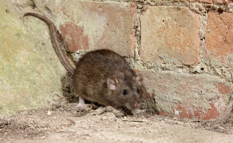 Rat in corner