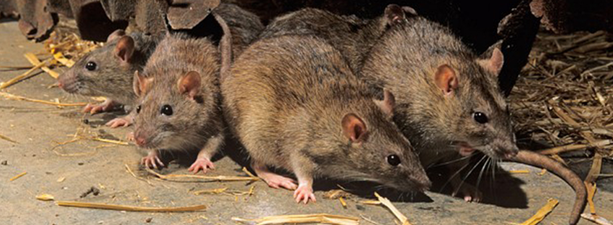 Rodents in Sacramento
