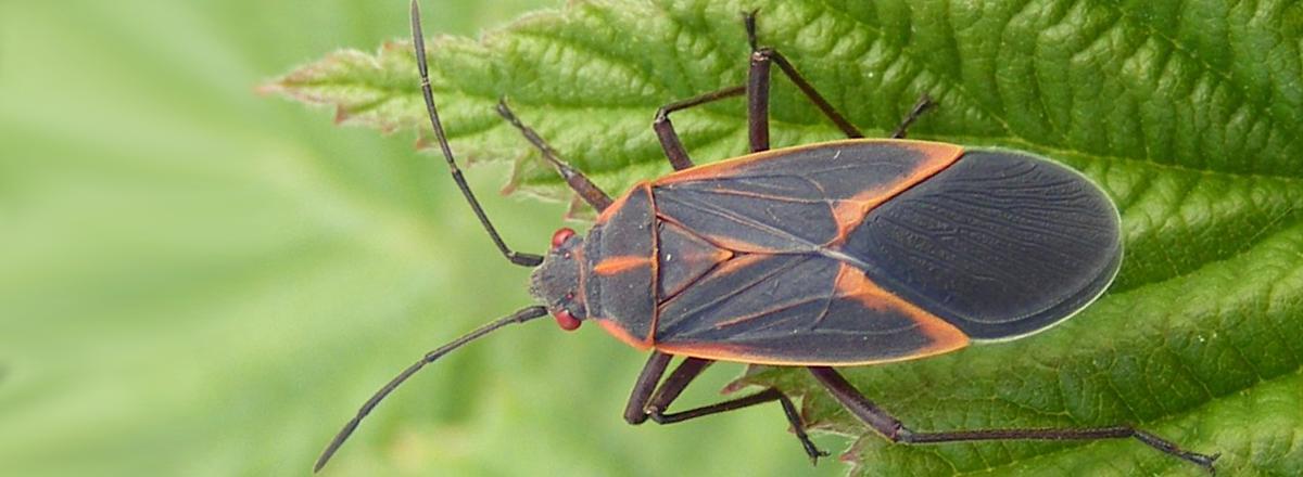 boxelder bugs in sacramento