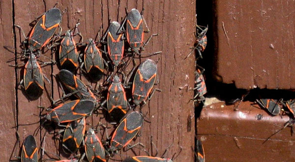Box Elder Bugs enter through crack