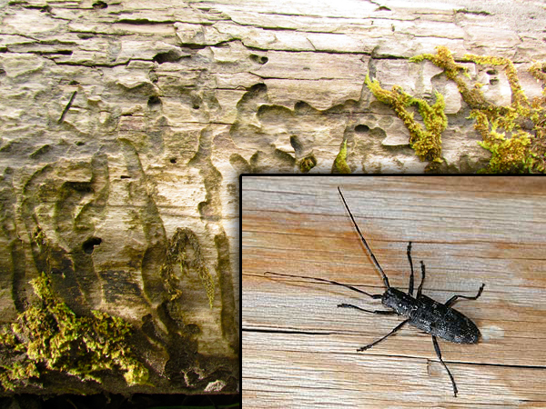 Wood destroying beetles
