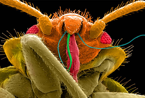 Bedbugs Develop Thick Skin