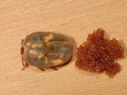 Ticks Enter Sacramento Homes
