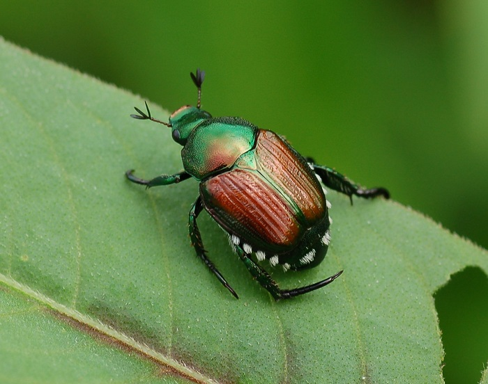 Sac Pest Invasion: Japanese Beetle
