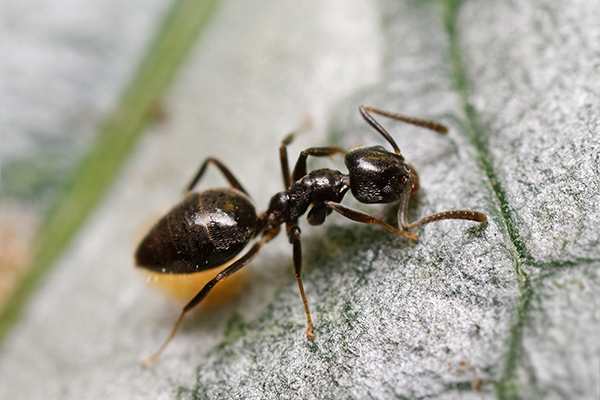 Odorous House Ants: Sacramento's Most Common Pest