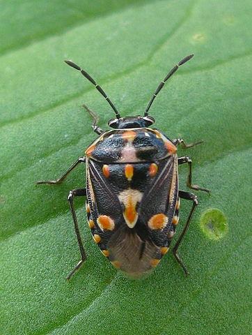 Sac Pest Invasion: Bagrada bug