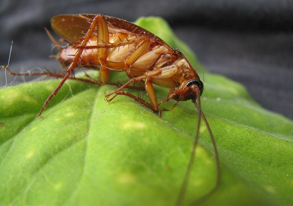 Flying Cockroaches! Heat Sends Pest Soaring In Sacramento